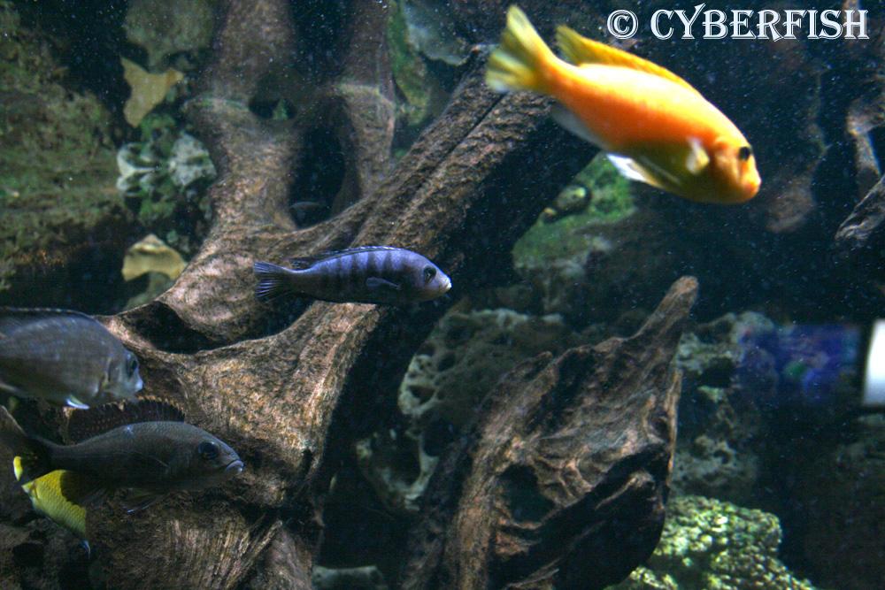 Parmi les poissons deau douce, les Cichlides sont